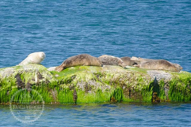 Seals basking on rocks at Montauk Point Seal Haulout