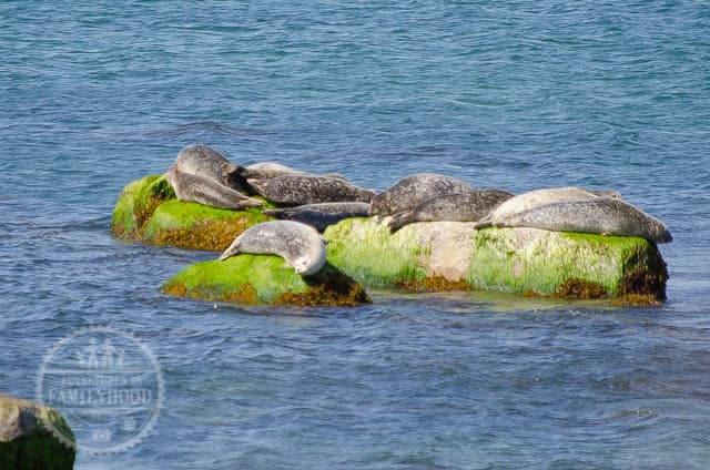 Seals hauling out on rocks at Montauk Point Seal Haulout