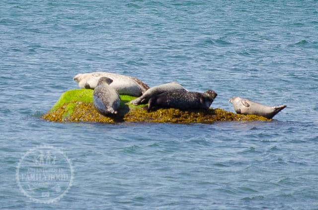 Seals laying on a rock at Montauk Point Seal Haulout