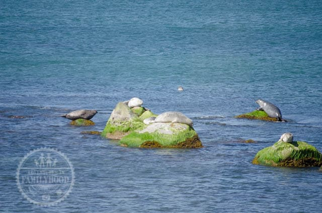 Seals on rocks at Montauk Point Seal Haulout