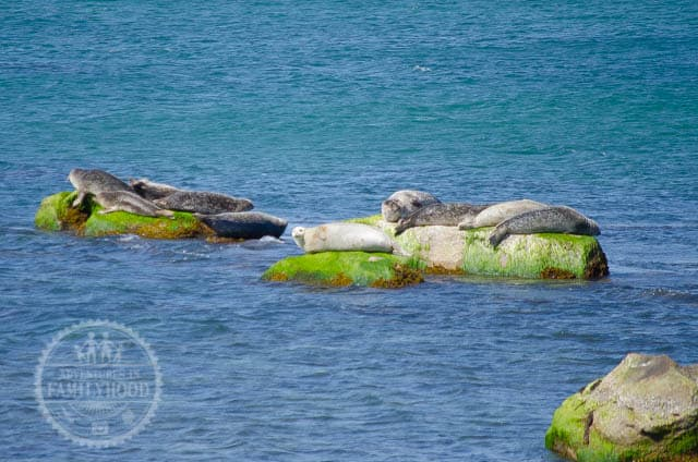 Seals sunbathing on rocks at Montauk Point Seal Haulout