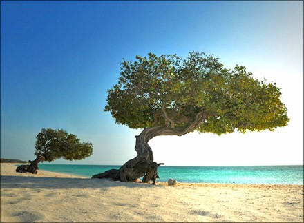 Divi Trees in Aruba