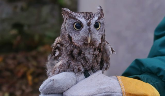 A Screech Owl perched on a gloved hand of a zookeeper