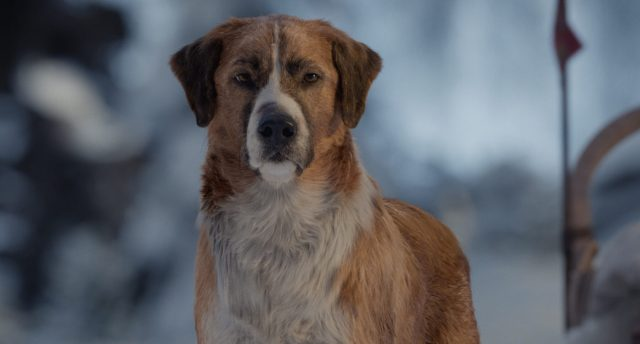 """Buck the dog from """"The Call of the Wild"""""""