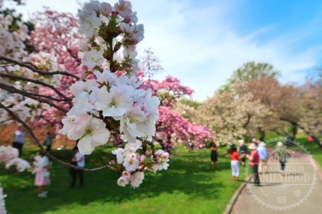 cherry blossoms in bloom along a path at New York Botanical Garden