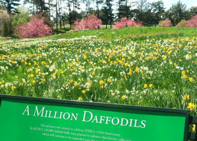 a million daffodils sign in front of yellow and white daffodils at daffodill hill - New York Botanical Garden