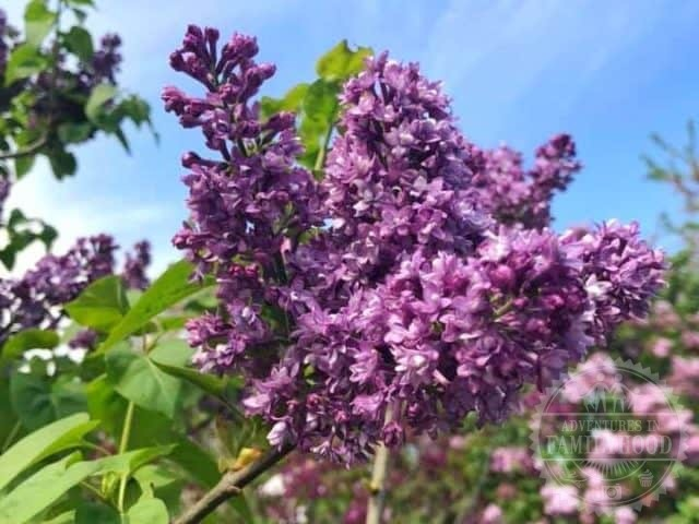 closeup of lilac branch at the New York Botanical Garden