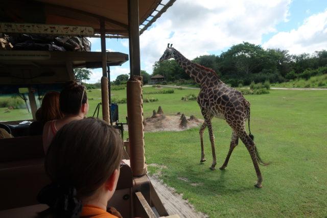 a giraffe walks next to a safari truck